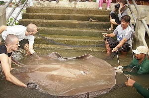 River fishing in Thailand for Stingrays