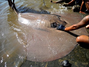 Stingray fishing at the Ban Pakong River in Thailand