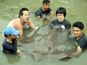 Thailand Giant freshwater stingray fishing Maeklong River
