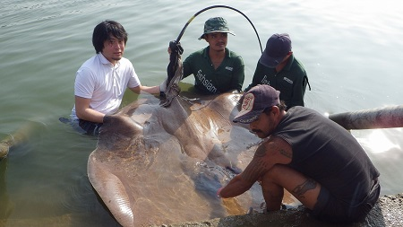 Thailand Giant stingray fishing Mae Klong