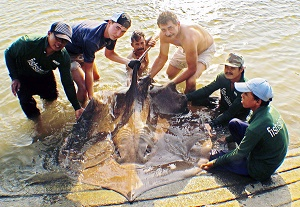 Thailand Stingray Fishing Freshwater Stingrays