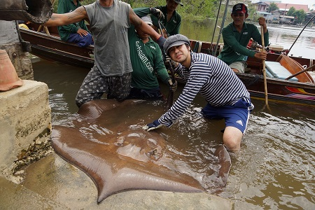 Thailand fishing for Giant freshwater stingrays