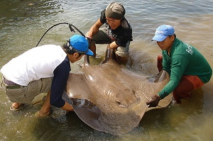 Thailand stingray fishing at Maeklong River