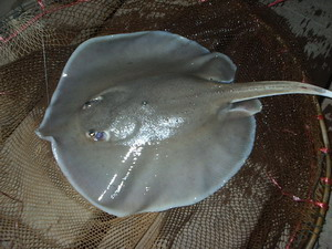 White Edged Freshwater stingrays Nakon Nayok